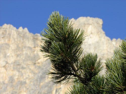 swiss-stone-pine-1877921_1920